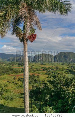 Palm Tree In Valle De Vinales