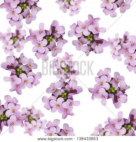 Delicate floral background of beautiful purple primrose isolated