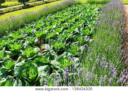 Vegetable patch - white cabbage surrounded by lavender