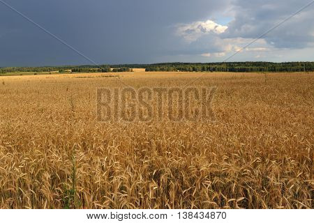 Dramatic View Of Wheat Fields In Stormy Weather