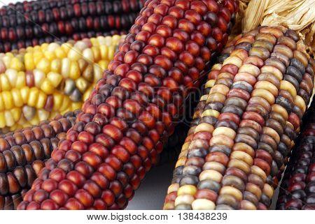 close up of the cob corn Indian