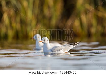 Two swimming black-headed gulls (Larus ridibundus) in natural environment