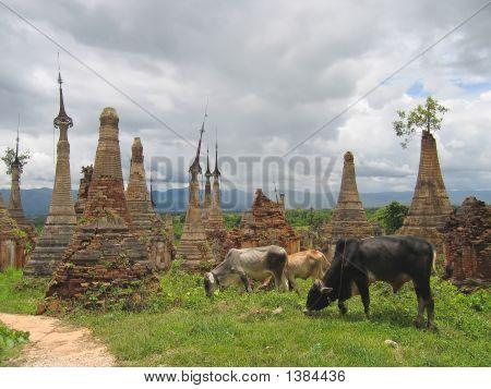 Cow Around The Stupas Of The Paya Kyaukhpyugyi, Inle Lake, Myanmar