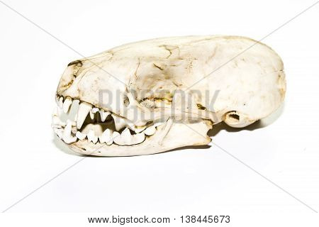 A Weasel or Stoat Skull on White Background