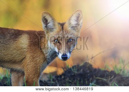 portrait of a beautiful fox with sunny hotspot, wild animals, mammals, animals, bright color, illustration