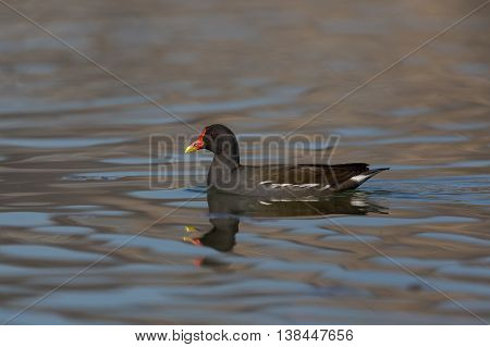 common moorhen (Gallinula chloropus) swimming and reflected by water surface