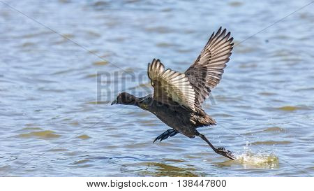 Red-knobbed Coot Running On Water
