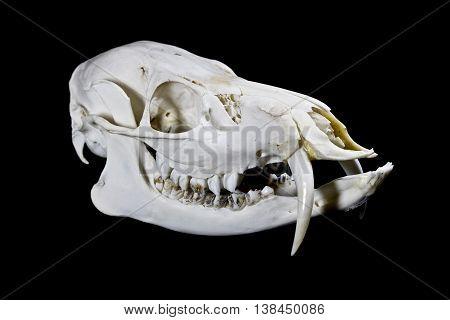 Fanged Water Deer Skull On Black Background
