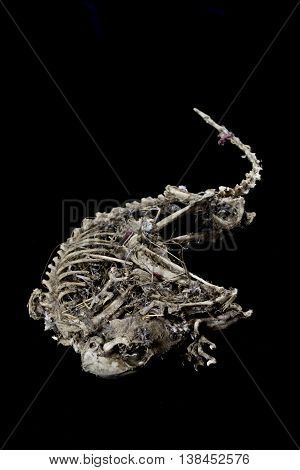 Mummified Squirrel skeleton isolated on black background