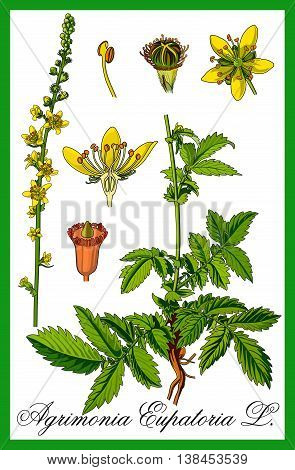 Common agrimony herbal botany illustration art vector.