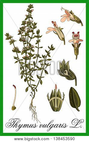 Thymus vulgaris - L. herbal illustration art vector.
