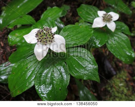 Bunchberry flowers (Cornus Canadensis) in a rainy forest