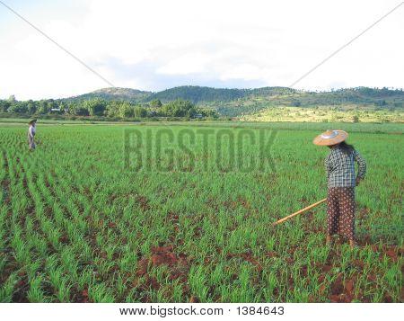 Two Farmer Women Working In A Ricefield, Kalaw, Myanmar