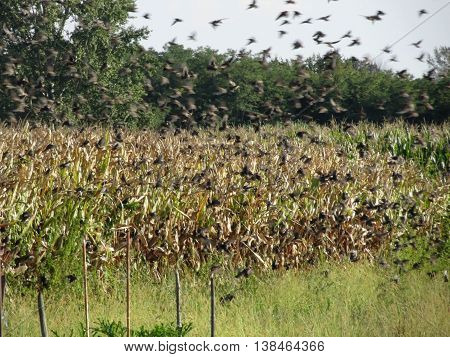 Cornfield ready for harvest and European starling flying in a blue sky in Tuscany Italy