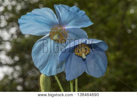 Himalayan Blue Poppy, (meconopsis) Flower, Close Up