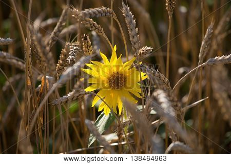 sunflower among the spikelets of wheat in a field texture agriculture