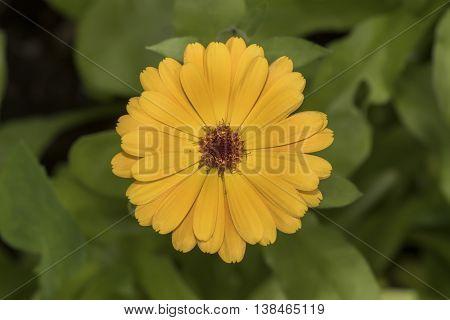 Yellow Pot Marigold, (calendula Officinalis) Flower, Close Up