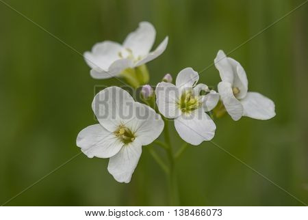 White Cuckoo Flowers (cardamine Pratensis) Close Up With A Blurred Background