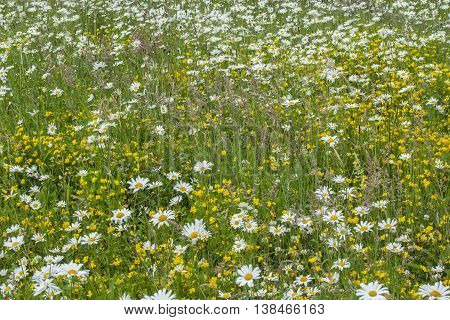 Wildflower Meadow In The Summertime In Scotland