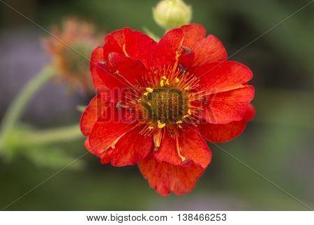 Red, Zinnia, (sunflower Tribe) Flower, Close Up