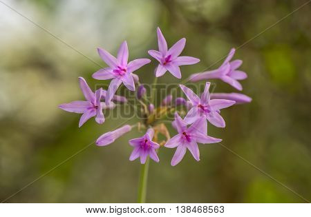 Pink, Wild Garlic, (tulbaghia Violacea) Flowers, Close Up