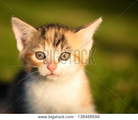 Horizontal photo of little cat. Kitten with nice three colored hair. Detail of animal eyes. Small mammal on grass in garden in evening light.
