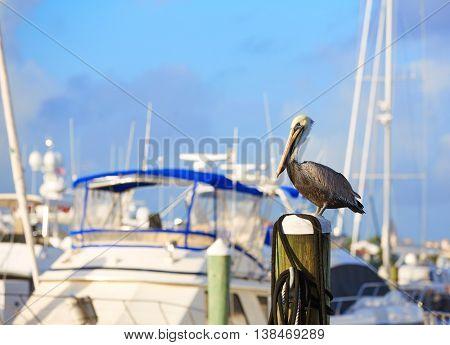 Fort Lauderdale Pelican bird in marina pole at Florida USA