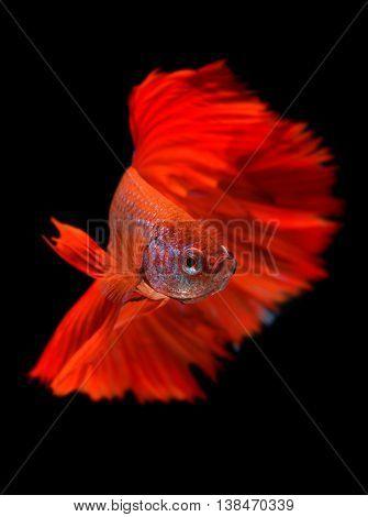 Red haft moon long tail Betta fish or Siamese fighting fish photo in flash studio lighting.