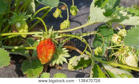 ripe beautiful red delicious bright juicy ripe berry strawberry in the summer garden in the garden and the bed is covered by a black weed covering materials