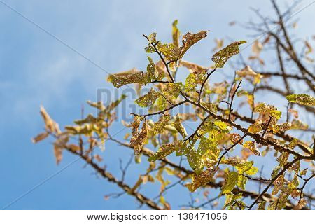 Damaged yellow Autumn leaves of Elm tree caused by Caterpillar in South Australia, Selective focus with blurred blue sky background