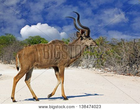 An isolated Male Kudu walking across a dry dusty road with a bright blue cloudy sky