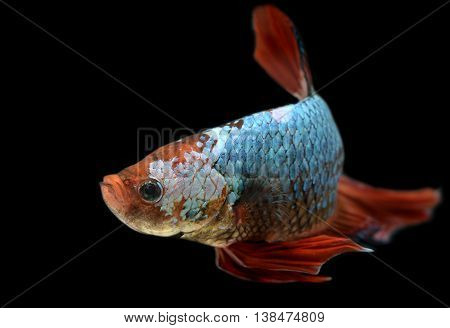 Gian dragon Betta fish or Siamese fighting fish photo in flash studio lighting.