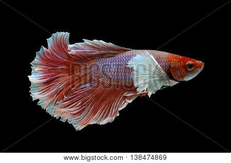 Pink rose tone haft moon tail Betta fish or Siamese fighting fish photo in flash studio lighting.
