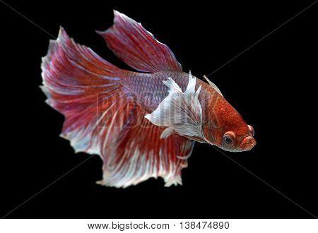Pink rose tone haft moon tail Betta fish or Siamese fighting fish photo in flash studio lighting.