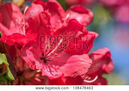 Bright red shrub of Rhododendron in spring