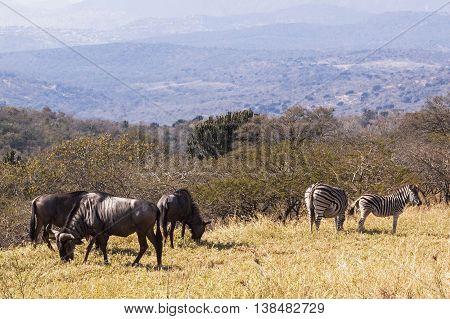 Wildebeest And Zebra On  Hillside Overlooking Hills And Valleys