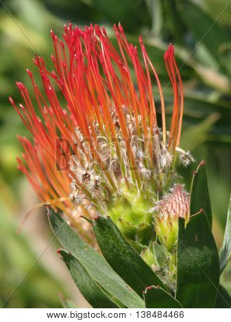 Protea From Kirstenbosch Botanical Gardens Cape Town South Africa