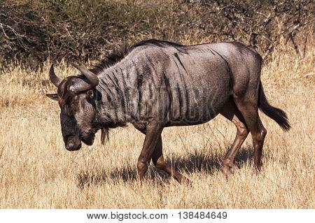 Wildebeest On Winter Grass And Bush Landscape