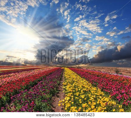Field of multi-colored decorative buttercups - ranunculus.  Flowers planted with broad bands of bright colors - red, yellow and pink