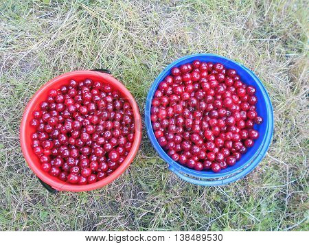 Cherries are in buckets. Cherries grow in the garden. Fruits are dark red, ripe, sour-sweet with seeds. From cherry cooked compotes, jams, cordials, liqueurs