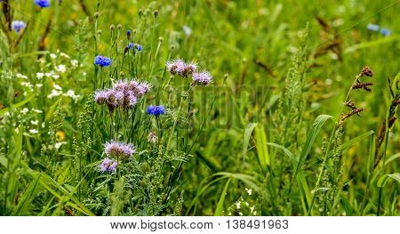 Ecologic field edge in the Netherlands from close with wild plants and flowers such as cornflowers grasses and lacy phacelia.