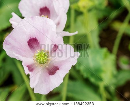 Overhead shot of Pink Opium poppies in full flower taken with a shallow depth of field. room for copy space and text