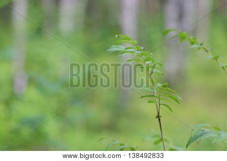 Rowan Tree In Forest