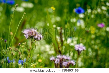 Ecologic field edge in the Netherlands from close with wild plants and flowers such as cornflowers grasses and lacy phacelia. The purpose of it is to support the conservation of biodiversity.