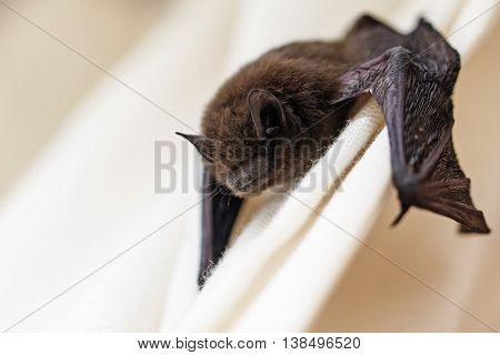 common pipistrelle (Pipistrellus pipistrellus) a small bat has strayed into the room and climbs on a white curtain closeup with copy space selected focus narrow depth of field