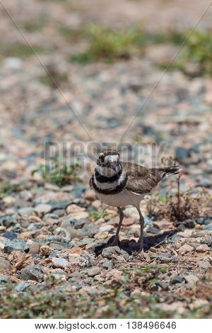 a killdeer blends in well with the gravel surroundings