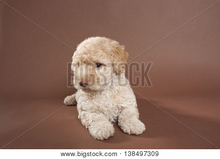 a brown french poodle lying on a brown background