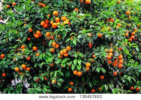 Tree with green leaves and orange tangerines in Greece.