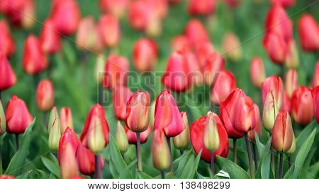 Flower Bed Of Red Tulips. Red tulip field in Holland.