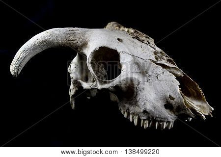A Sheep Ram Skull ON Black Background